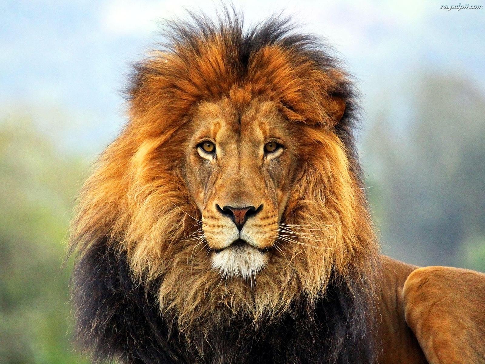 Znalezione obrazy dla zapytania lew